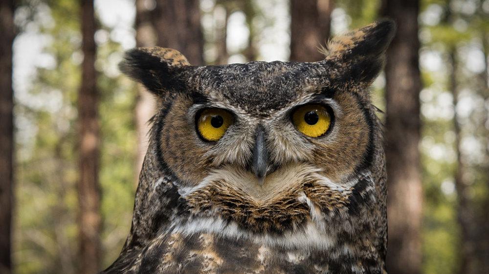 Great_Horned_Owl_in_Oregon